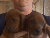 Redbone Coonhound, 4 week old pups, red